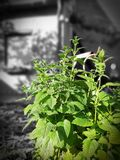 Citronella dal giardino fotografia stock