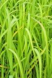 Citronella delle erbe Fotografie Stock Libere da Diritti