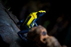 Citronella Dyeing Poison Dart Frog in terrarium. Citronella Dyeing Poison Dart Frog, Dendrobates tinctorius in terrarium royalty free stock images