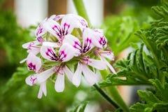 Citronella flower stock photo