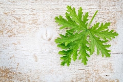 Citronella leaf on grunge wood. Single fresh leaf of citronella (mosquito plant, scented geranium) on a white painted weathered barn wood background royalty free stock image