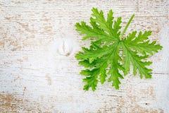 Citronella leaf on grunge wood Royalty Free Stock Image