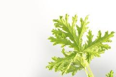 Citronella Plant. All natural citronella plant mosquito repellant leaves Stock Photography
