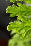 Citronella Plant. All natural citronella plant mosquito repellant leaves stock image