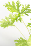 Citronella Plant. All natural citronella plant mosquito repellant leaves royalty free stock photo