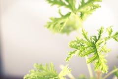 Citronella Plant. All natural citronella plant mosquito repellant leaves stock photos