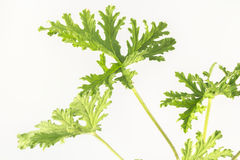 Citronella Plant. All natural citronella plant mosquito repellant leaves royalty free stock image