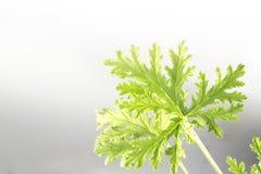 Citronella Plant. All natural citronella plant mosquito repellant leaves stock photo