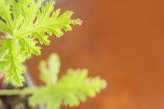 Citronella Plant. All natural citronella plant mosquito repellant leaves royalty free stock photography