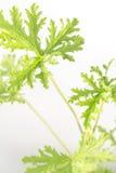 Citronella Plant. All natural citronella plant mosquito repellant leaves royalty free stock photos