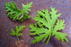 Citronella Plant Mosquito Repellant. A citronella plant leaves to make homemade mosquito repellant stock photos