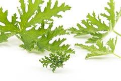 Citronella Plant Mosquito Repellant. All natural citronella plant mosquito repellant leaves on white royalty free stock image