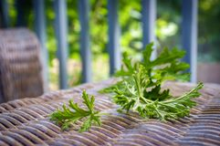 Citronella Plant Mosquito Repellant. A citronella plant leaves to make homemade mosquito repellant stock photo