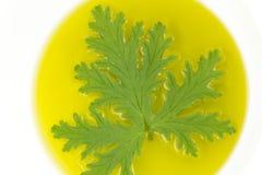 Citronella Plant Mosquito Repellant. A citronella plant leaf resting in oil to make homemade mosquito repellant royalty free stock image