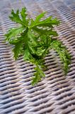 Citronella Plant Mosquito Repellant. A citronella plant leaves to make homemade mosquito repellant royalty free stock photos
