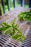 Citronella Plant Mosquito Repellant. A citronella plant leaves to make homemade mosquito repellant stock photo