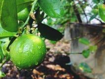 Citronen är en sort av frukt Resultatet är surt Organiserat i citrus, är den gröna färgen, när den lagas mat, gult som används so royaltyfri bild