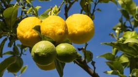 Citronen färgar trädet Arkivfoton