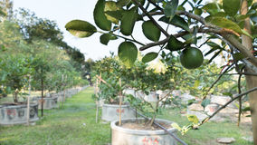 Citroner limefrukter växer i rader i en citrus dunge Royaltyfri Fotografi
