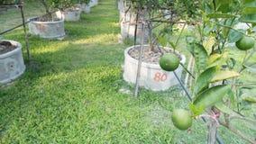 Citroner limefrukter växer i rader i en citrus dunge Royaltyfria Foton