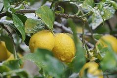 Citroner med insnöat trädgården Fotografering för Bildbyråer