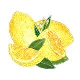 Citroner med klippta skivor och med sidaillustrationen för driftstopp, fruktsaft, sommarmeny Hand dragen vattenfärgillustration vektor illustrationer