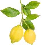 Citroner på en filial Royaltyfri Foto