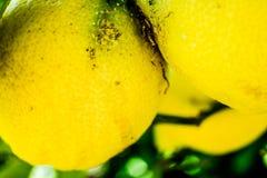 Citroner på en trädcloseup Arkivbilder