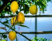 Citroner på en tree Arkivfoton