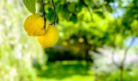 Citroner på en tree Arkivbilder