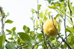 Citroner på filialerna Arkivbild
