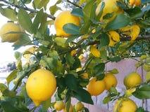 Citroner på trädet royaltyfri foto