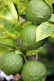 Citroner på trädet som är unripened Arkivbild