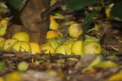 Citroner under ett citronträd Arkivbild