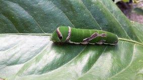 Citronfjäril Caterpillar Royaltyfri Fotografi