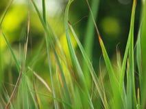 Citrongräs Arkivbild