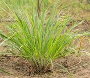Citrongräs på ofruktbar mark Royaltyfri Foto