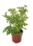 Citronnellum do Pelargonium imagens de stock royalty free