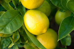 Citronnier Photo stock