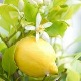 Citronnier Photos stock
