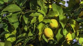 Citronnier Photographie stock libre de droits