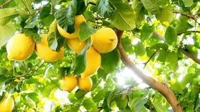 Citronnier avec des citrons banque de vidéos