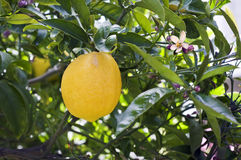 citronnier de branchement Photo stock