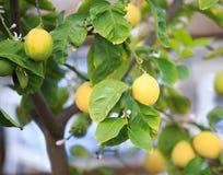 Citrons, citronniers, Image libre de droits