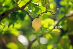 Citrons, citronniers, Images libres de droits