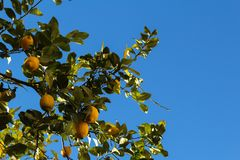 Citrons de l'Espagne à Valence photo libre de droits