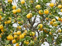 Citrons dodus, mûrs, juteux prêts pour la récolte dans un citronnier dans les îles éoliennes, Sicile, Italie photos libres de droits