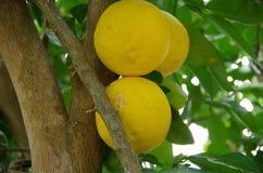 Citrons mûrissant sur l'arbre images libres de droits