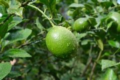Citrons mûrissant sur un citronnier photographie stock libre de droits