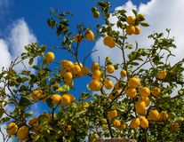 Citrons pendant d'un arbre à Lemon Grove Photographie stock libre de droits